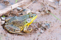 Frog Sitting in Mud Royalty Free Stock Image