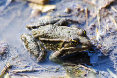 Frog. Sitting in muddy water Royalty Free Stock Photo