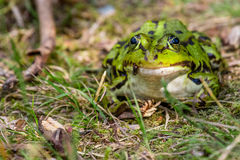 Frog sitting next to a pond Stock Image