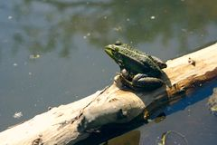 Frog sitting on a piece of wood. A frog bathing in the sun while sitting on a piece of wood floating on water Stock Photos