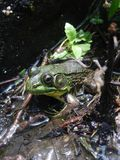 Frog sitting in a pond. Green frog sitting in a mucky pond Royalty Free Stock Photography