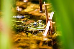 Frog sitting in the pond Stock Image