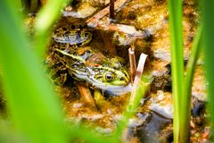 Frog sitting in the pond Royalty Free Stock Image