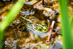 Frog sitting in the pond Stock Images