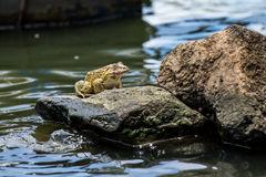 Frog sitting on a rock above the surface Stock Photos