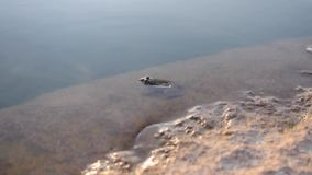 Frog sitting on the rock in the water.  stock video footage