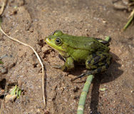 Frog sitting on the sand side view Stock Image