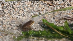 Frog is sitting on the sand. Small waves wet frog stock footage