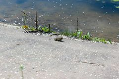 Frog sitting on the shore pond royalty free stock image