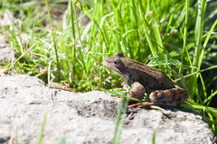 The frog sitting on a stone among a grass Royalty Free Stock Photo