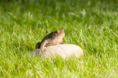 The frog is sitting on a stone Stock Photo
