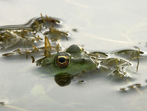 The Frog Sitting in Water Royalty Free Stock Image