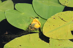 Frog sitting on the water flower Stock Photo