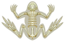 Frog skeletal system Stock Images