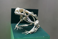 Frog skeleton Royalty Free Stock Images
