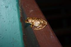 Frog. Small frog in Australia Stock Photo