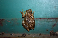 Frog. Small frog in Australia Royalty Free Stock Photography