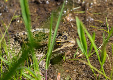Frog in small stream Royalty Free Stock Photography