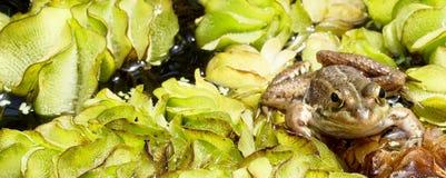 Frog smiling Royalty Free Stock Photos