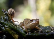 Frog and snail. Frog standing on a branch next to a snail Royalty Free Stock Images