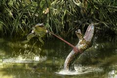 Frog and snake battle in river Stock Image
