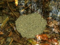 Frog spawn Stock Image