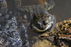Frog with spawn Royalty Free Stock Images