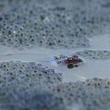 Frog spawn sex act. Closeup Royalty Free Stock Image