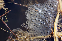 Frog spawn Royalty Free Stock Image