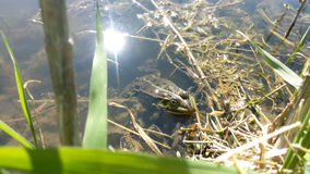 Frog spotted green in the water near the grass with silt. The bright light of the summer sun on a hot summer day, close-up Royalty Free Stock Photos