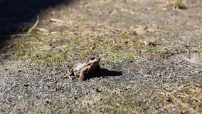 Frog on spring grass stock video