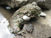 Frog. Spring, warm sun, the frog got out to bask in the sun, a pleasant meeting Royalty Free Stock Photo