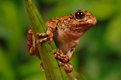 Frog on stalk Royalty Free Stock Photography