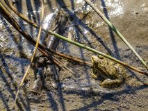 A frog standing motionless in the mud with biting midges on it. A frog standing motionless in the mud in a puddle on a riverbank with biting midge flies on it royalty free stock image