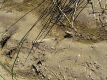 A frog standing next to recent bird steps in the mud Stock Photo