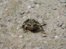 Frog standoff Royalty Free Stock Photography