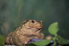 Frog staring at the camera Royalty Free Stock Photos