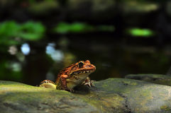 Frog staring from garden pool Royalty Free Stock Images