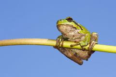 Frog on a stem Stock Photography