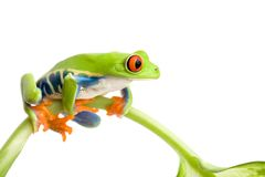 Frog on stem isolated Royalty Free Stock Images