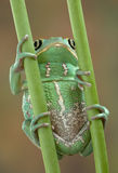 Frog on stems. A waxy monkey tree frog is holding on to two plant stems Stock Photography