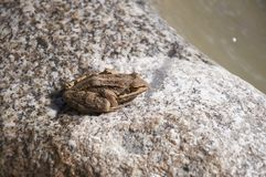 Frog on a stone Royalty Free Stock Photo