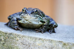 Frog on the stone. Stock Image