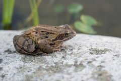 Frog on stone in front of Pond stock photography