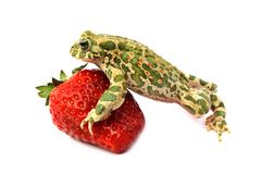 Frog strawberry Stock Photos