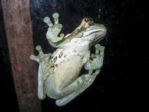 Frog Stuck to a Window Royalty Free Stock Images