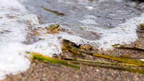 Frog submerged of water. With air bubble at the beach stock photo