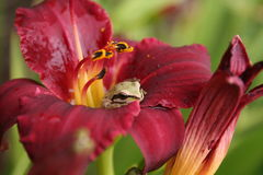Frog Suprise. Frog Resting on Red Day lily Stock Photography