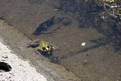 Frog in swamp. Green frog in a water of swamp stock photography