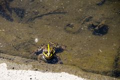 Frog in swamp. Green frog in a water of swamp royalty free stock photos